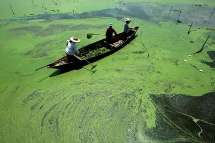 Blue-green Algae Growing Naturally